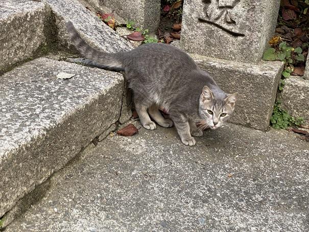 金刀比羅宮神の使いの猫