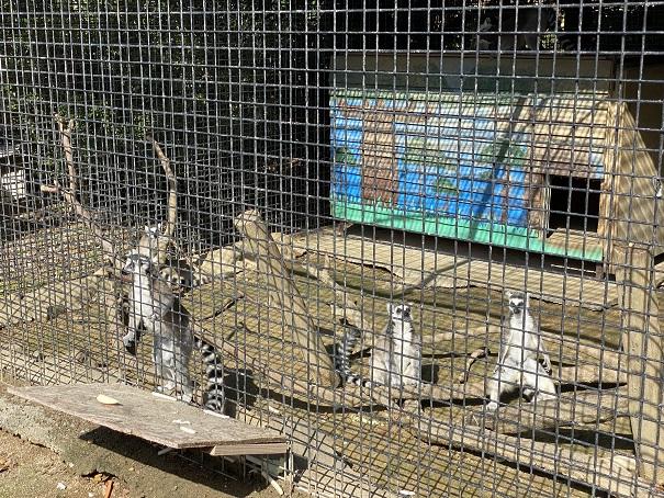 しろとり動物園 ワオキツネザル