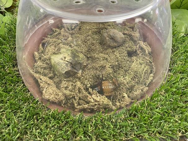 しろとり動物園 マダガスカルゴキブリ