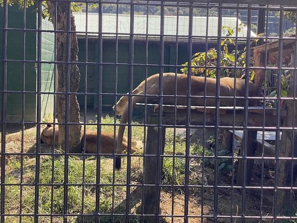 しろとり動物園 ライオン1