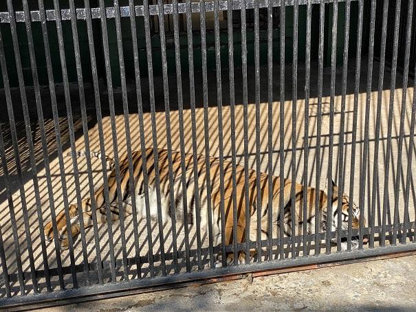 しろとり動物園 トラ1