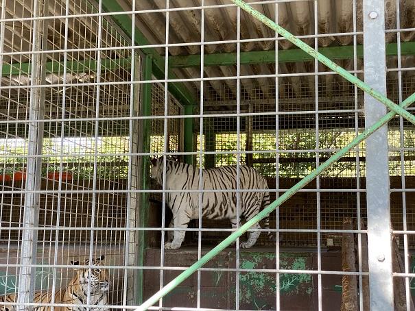 しろとり動物園 トラ2