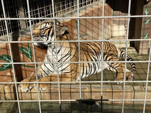 しろとり動物園 トラ3