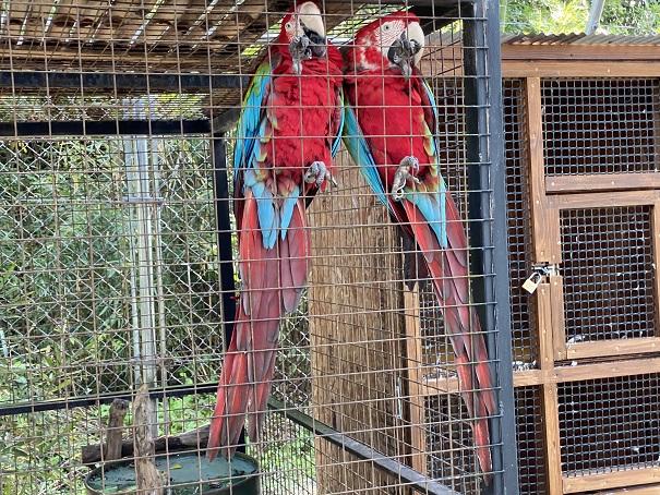しろとり動物園 ベニコンゴウインコ
