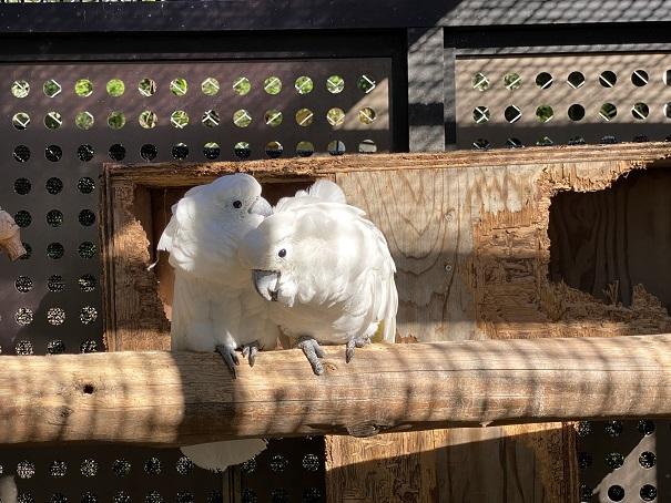 しろとり動物園 タイハクオウム