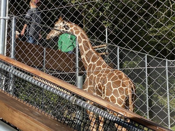 しろとり動物園 キリン