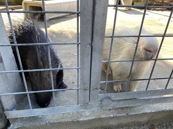 しろとり動物園 インドタテガミヤマアラシ
