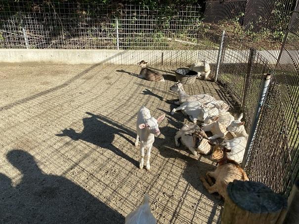 しろとり動物園 ヤギ