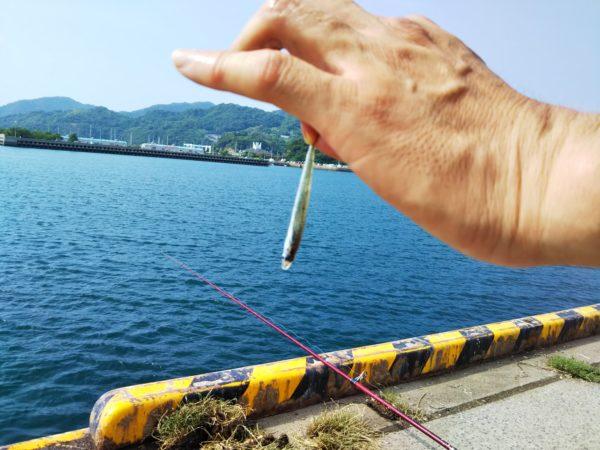 新仁尾港で釣れた小さいイワシ