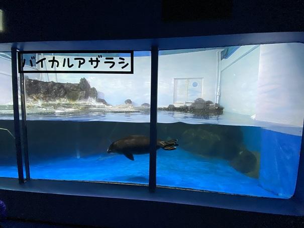 新屋島水族館 バイカルアザラシ