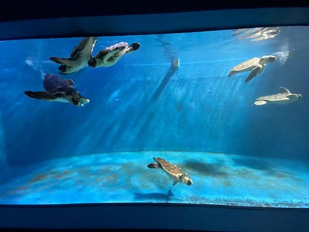 新屋島水族館 ウミガメの子供