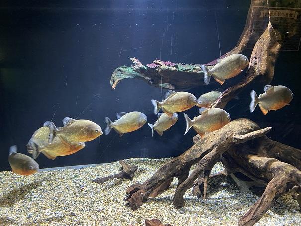 新屋島水族館 ピラニア