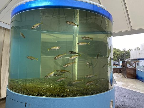 新屋島水族館 マアジ