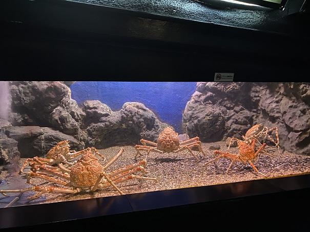 新屋島水族館 タカアシガニ