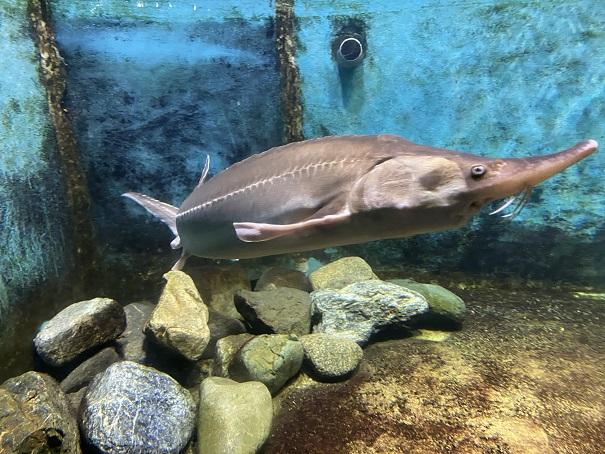 新屋島水族館 チョウザメ