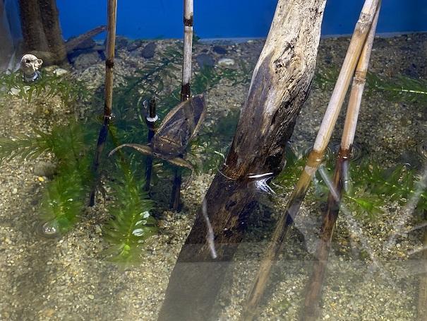 新屋島水族館 タガメ