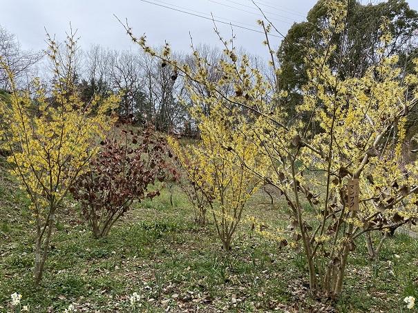 梅と水仙の谷みろく自然公園