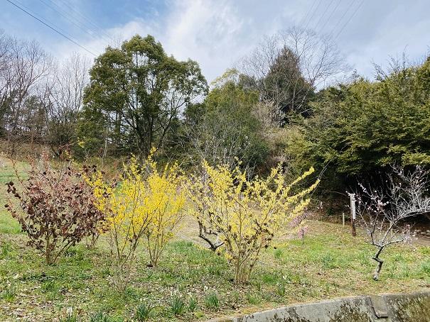 蝋梅の花みろく自然公園