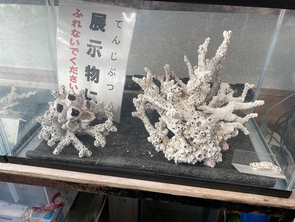 瀬戸内海のサンゴ