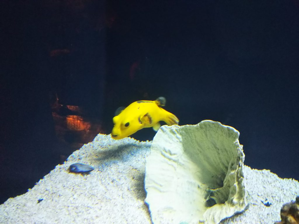黄色い変な魚