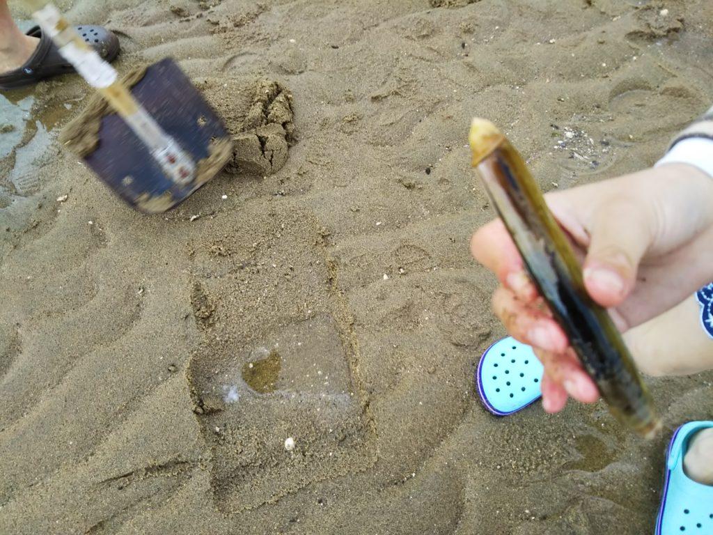 大きなマテ貝