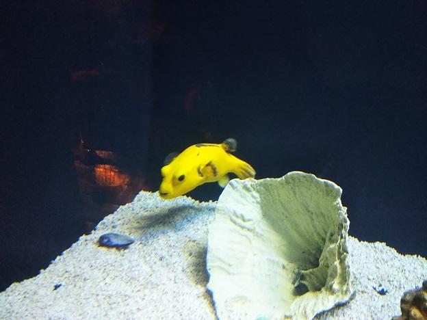 グアムの水族館黄色い魚