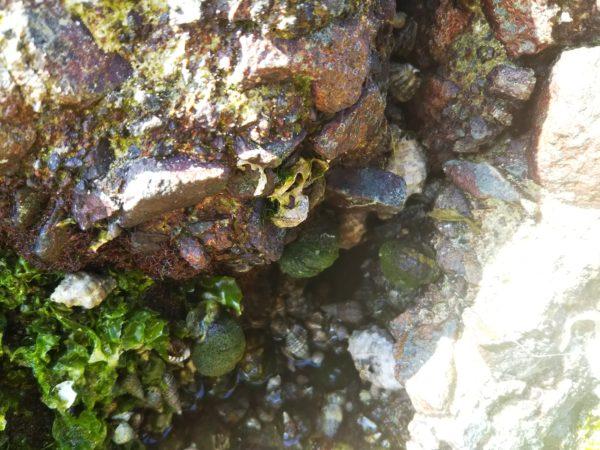 防波堤のニナ貝1