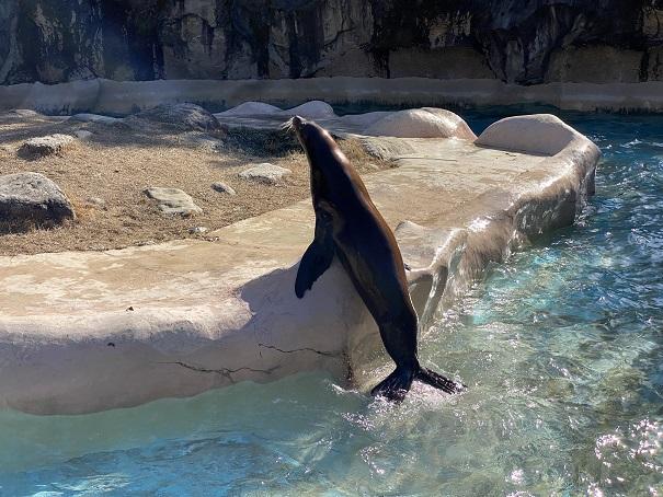 アシカ高知県立のいち動物公園