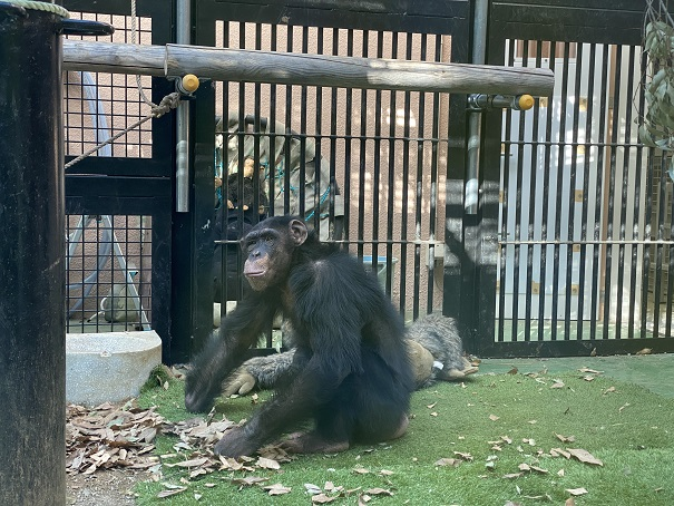 チンパンジーのミルキー