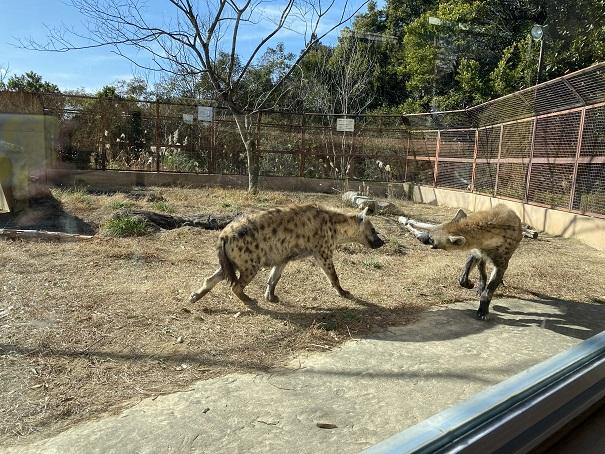 ブチハイエナのいち動物公園