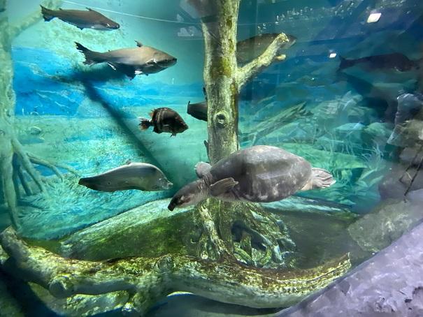 アジアアロワナやスッポンモドキなどの水槽