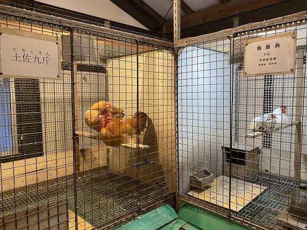 珍鳥センター鶏