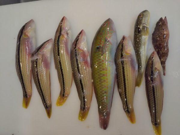 三豊市大浜で突いた魚