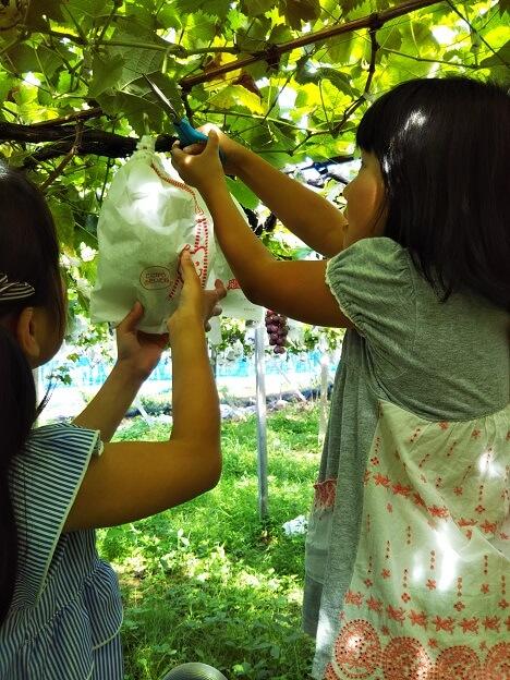 三木ぶどう園ブドウ狩り
