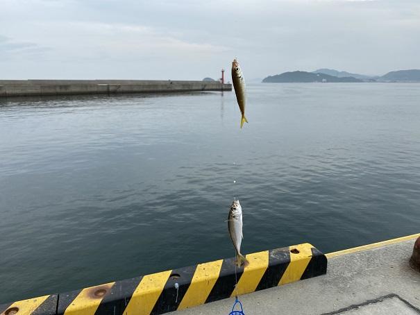 津田港で豆アジが釣れた