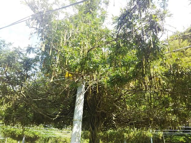 土佐の高知のくだもの畑 駐車場の木