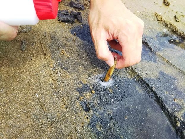 新仁尾港でマテ貝を取る