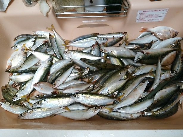 仁尾マリーナで釣ったアジやイワシやサバ