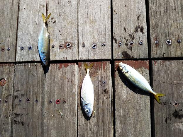 サンポート高松青アジが3匹釣れる