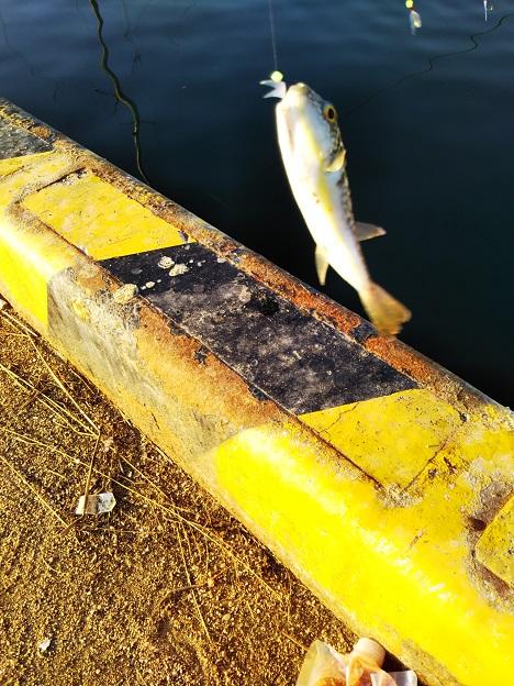 鶴羽漁港でフグを釣る
