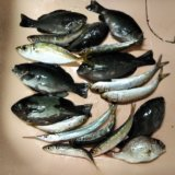 鶴羽漁港でイワシやアジやグレが釣れる