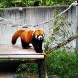 とくしま動物園レッサーパンダ
