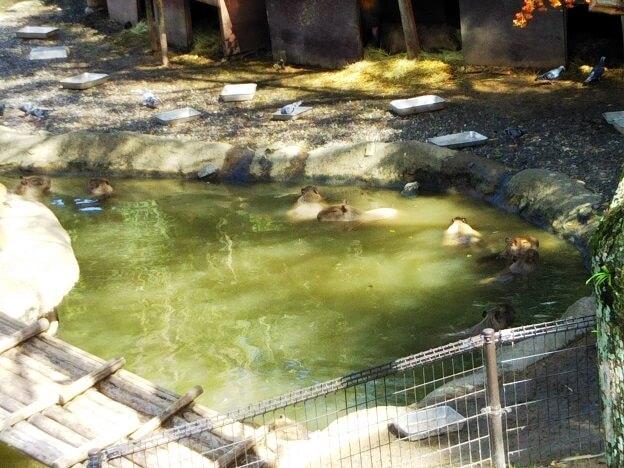 とくしま動物園カピパラ温泉