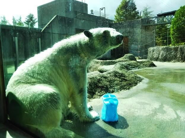 とくしま動物園シロクマ