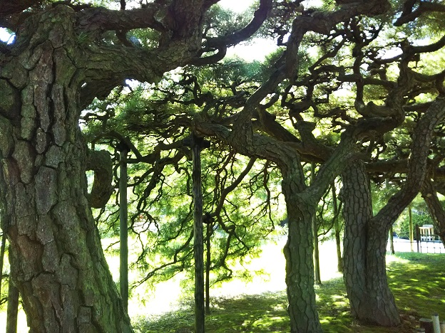 栗林公園 箱松の裏側