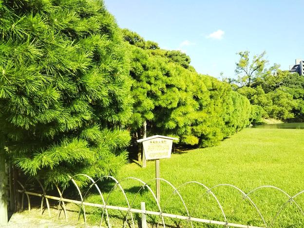 栗林公園 箱松