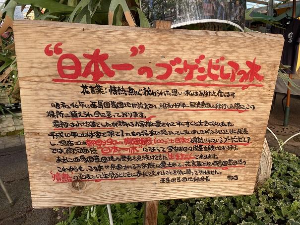 西島園芸団地 日本一のブーゲンビリア