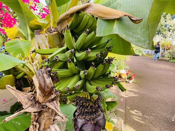西島園芸団地 バナナの実