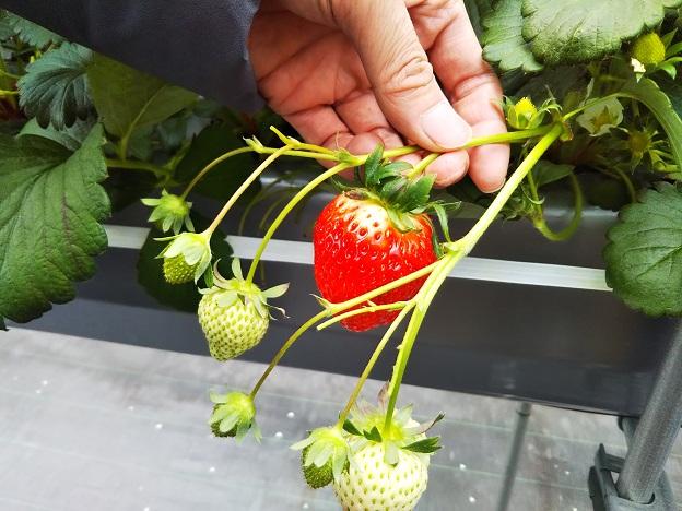 がっこうのイチゴ園財田上 大きいいちご