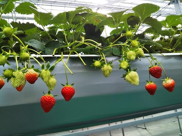 がっこうのイチゴ園財田上 イチゴ